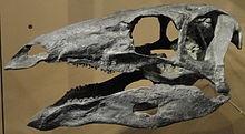 craneo de estegosaurio del Museo de Historia Natural de Utah
